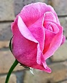 Propagated Pink Rose from Softwood cutting