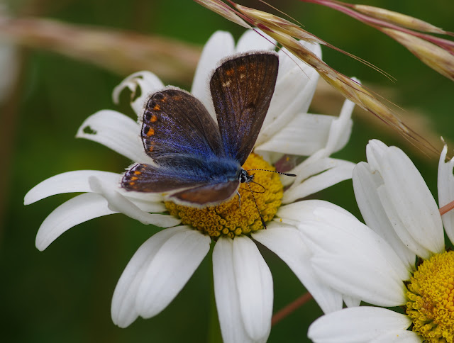Polyommatuss icarus icarus (ROTTEMBURG, 1775), femelle. Les Hautes-Lisières (Rouvres, 28), 14 juin 2012. Photo : J.-M. Gayman