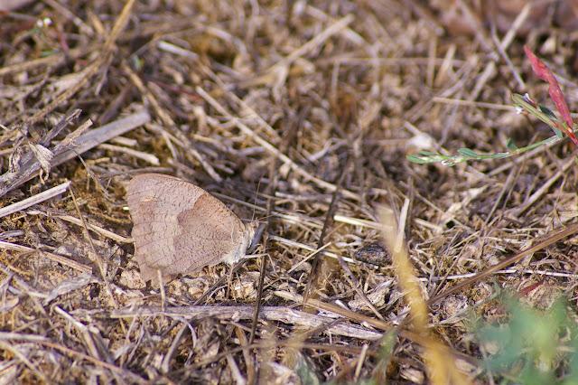 Maniola jurtina LINNAEUS, 1758, mâle, verso. Les Hautes-Lisières, 11 septembre 2009. Photo : J.-M. Gayman