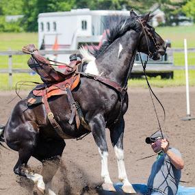 Hold on by Todd Wallarab - Animals Horses ( saddle, buck, horse, rodeo, man )