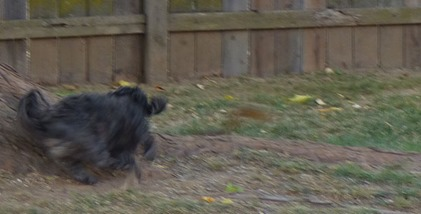 Skruffy running after Squirrel down on the ground