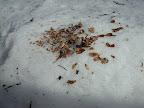 これもニホンリスのフィールドサイン(生活痕)。 ちょっと切り株に降り積もった雪をテーブル代わりに豪華な松の実を食べたらしい。雪の時期でも 彼らには樹上の食糧貯蔵庫(=まつぼっくり)がある。