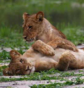 Wet Lion Cubs, Botswana