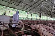 Ratusan Babi Potong Asal Kalimantan Barat Siap Pasok Sumatera Utara
