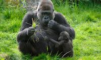 γορίλας τρώει,οικογενειακή στιγμή γορίλα,παιδί γορίλα,gorilla eating,family moment,gorillas child
