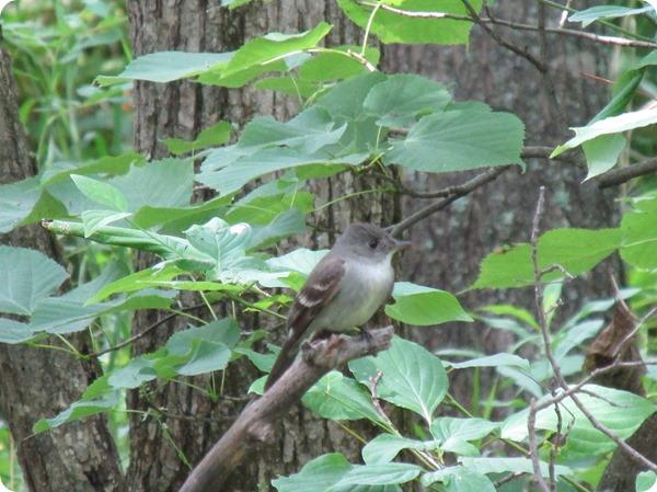 IMG_7560 Eastern Wood Peewee Bird (5)