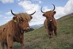 COIFFEURS EN GRÈVE?Vaches highland sur les Hautes Combes jurassiennes