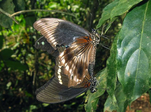 Accouplement de Papilio nireus LINNAEUS, 1758 (femelle au-dessus du mâle). Bobiri Forest (Ghana), 20 janvier 2006. Photo : J. F. Christensen