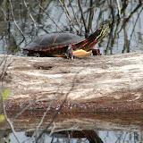 Midland Painted Turtle - Joe Crowley