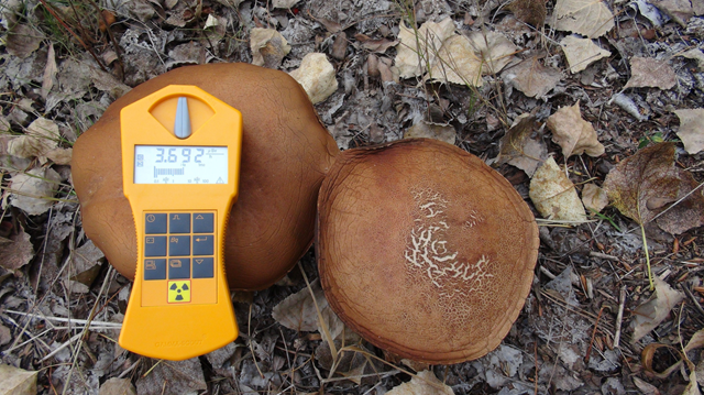 Radioactive chernobyl mushrooms, 1 October 2012. 'Wasnt too bad actually, moss seems to concentrate Cs-137 more than mushrooms.' Photo: bionerd23 / flickr