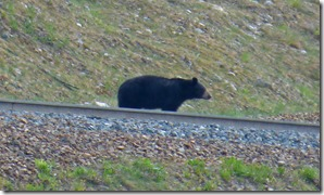 Bear at Banff-Yoho border