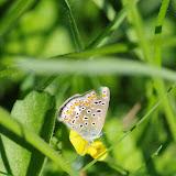 Polyommatus icarus (Rottemburg, 1775), femelle (?). Les Hautes-Lisières (Rouvres, 28), 9 septembre 2015. Photo : J.-M. Gayman
