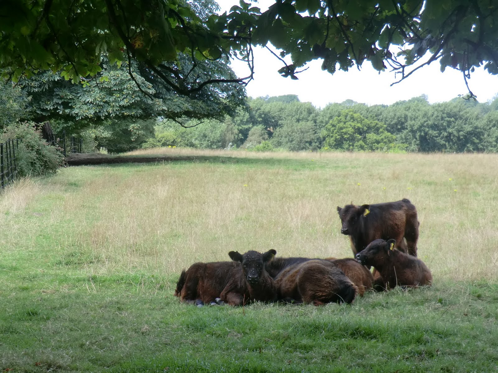 CIMG3450 Sussex cattle in Cuckfield Park