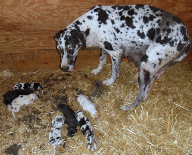 Graysee's litter @ 2 days