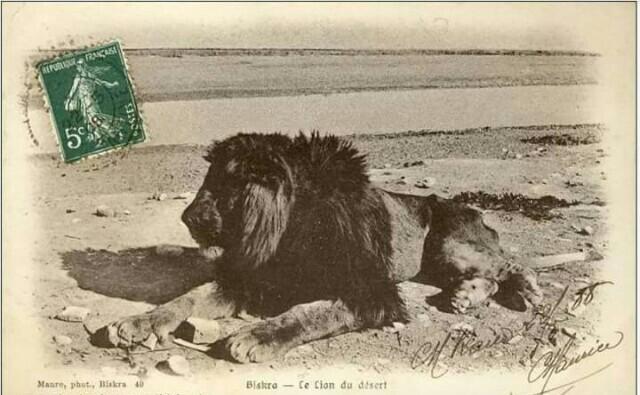 أسد الأطلس الصحراوي , بسكرة, الجزائر...