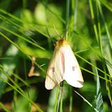 Arctiidae : Diacrisia sannio (LINNAEUS, 1758), mâle. Fex Crasta, 2000 m (Engadine, Grisons, CH), 14 juillet 2013. Photo : J.-M. Gayman