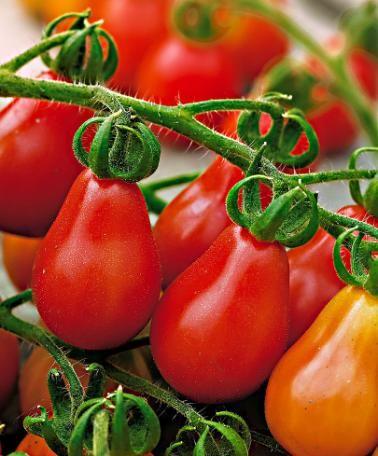 Cà chua bi hình trái lê gây sốt tại Việt Nam - 55c961c46af31