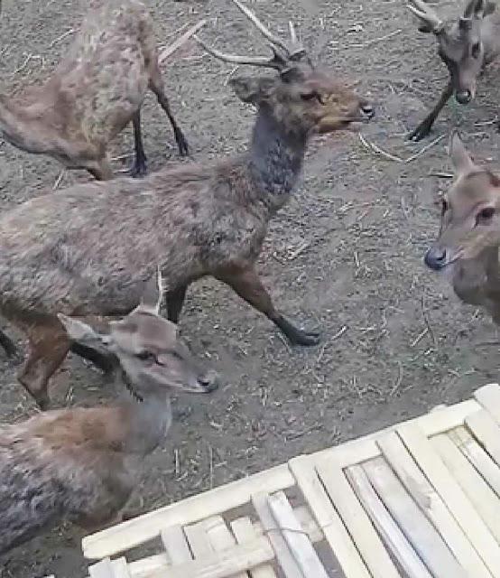 Penangkaran rusa taman hutan raya juanda