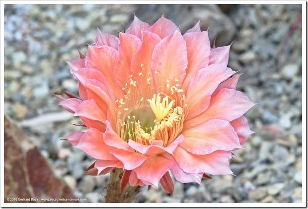 160530_echinopsis_flower_014