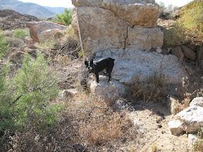 Sadie the Borrego Terrier