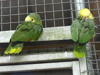2016.07.31-016 perroquets