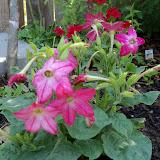 Gardening 2011 - 100_7899.JPG