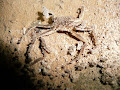 Calcified cave crab, Whiterock Cave | photo © Pete Hall