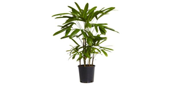 Palmerita China planta interior