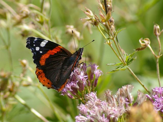 Vanessa atalanta, LINNAEUS, 1758. Bois de Mélezen, Vallon Claous, 1980 m, 6 août 2009. Photo : J.-M. Gayman