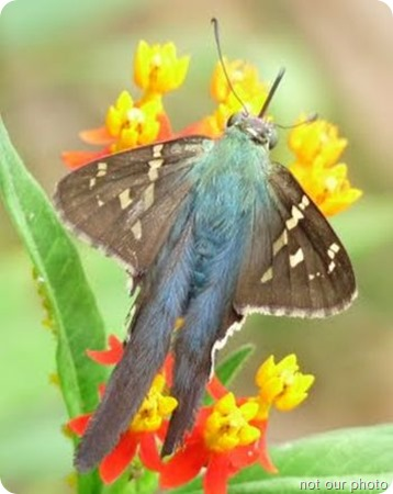 Long-Tailed-Skipper