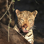 Africa-Wyatt's Leopard Photo.jpg