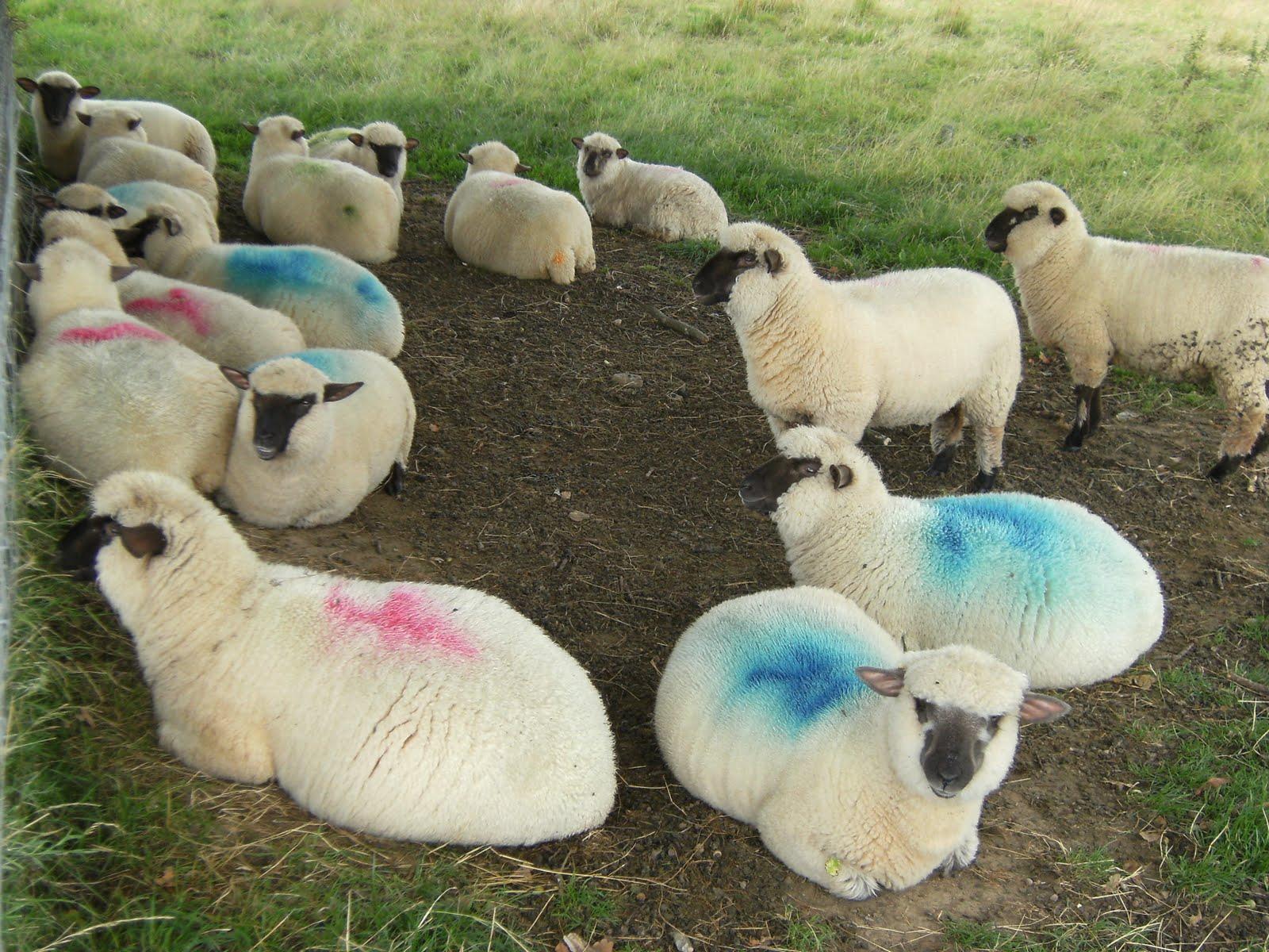 DSCF9269 Resting sheep