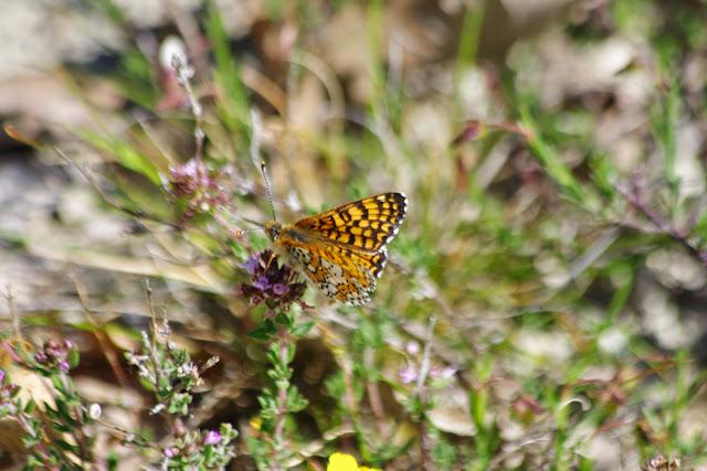 Melitaea cinxia (Linnaeus, 1758), ♂. Les Hautes-Courennes (426 m), Saint-Martin-de-Castillon (Vaucluse), 9 mai 2014. Photo : J.-M. Gayman