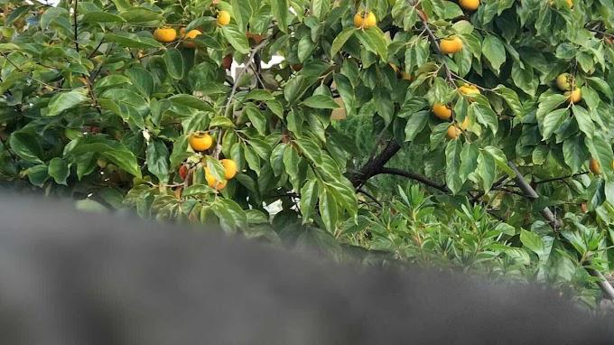 柿の木の北限の正確な地域は?