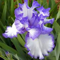 Iris in Paradise