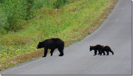 Three bears along Cassiar Highway, mama and two cubs