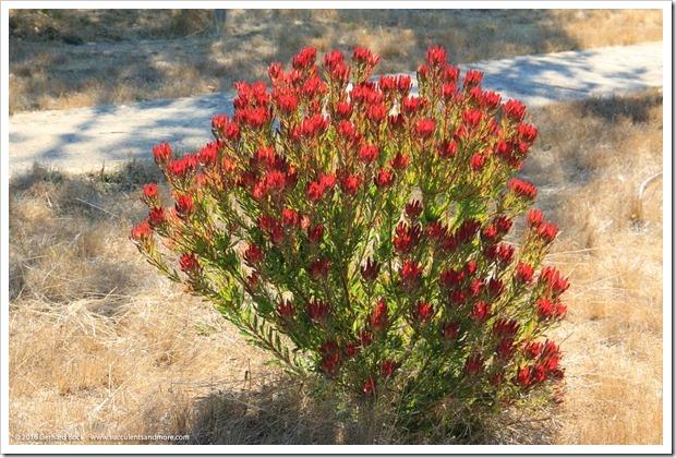 160813_UCSC_Arboretum_062