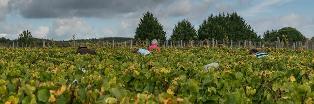 Petites vendanges 2017 du chardonnay gelé. guimbelot.com - 2017-09-30%2Bvendanges%2BGuimbelot%2Bchardonay-176.jpg