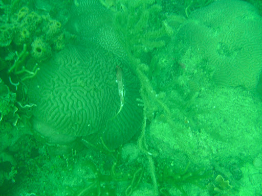 Squirrel fish swimming on top of some brain coral