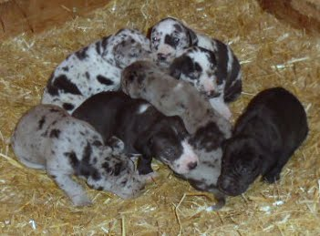 Pile o' puppies