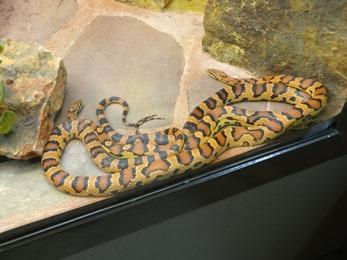2017.08.07-023 serpent des blés