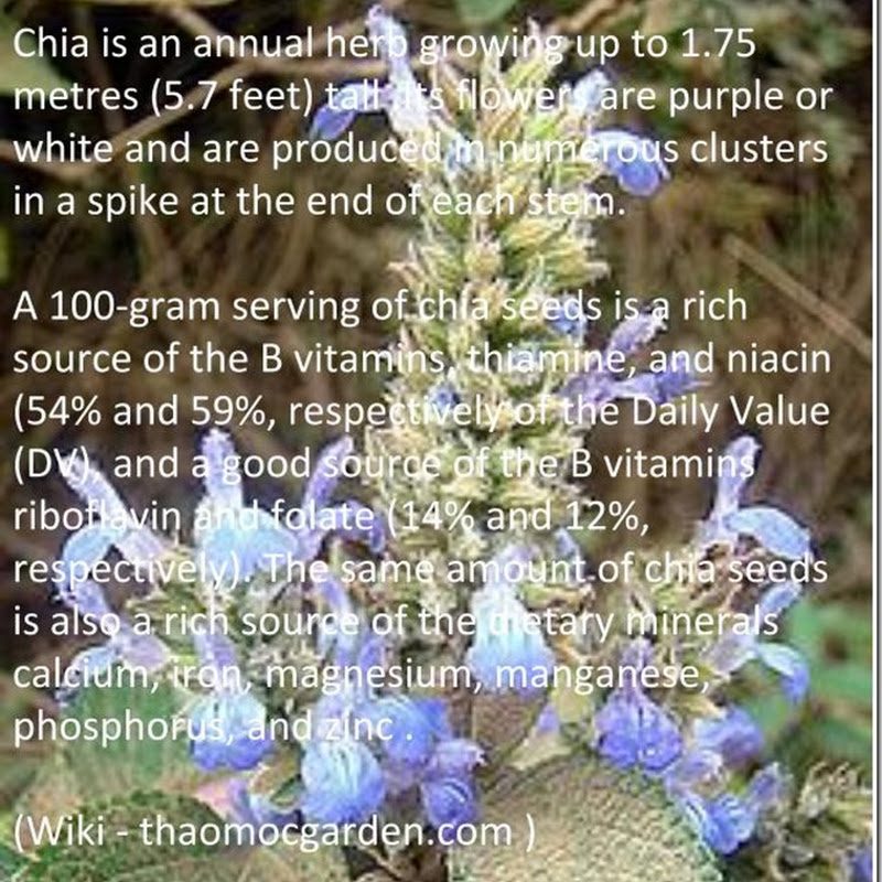 Chia Seeds - Salvia hispanica.
