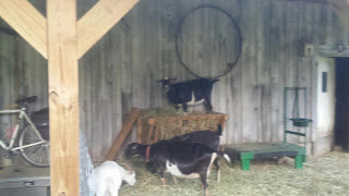 Goat standing in the hay manger