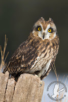 This short-eared owl is an educational ambassador at SOAR - Saving Our Avian Resources. Shorted-eared owls are grassland nesters and need large undisturbed contiguous acres for good nesting habitat.