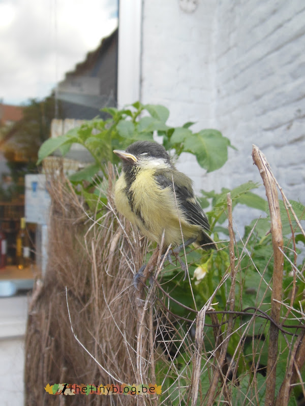 Great tit baby