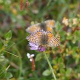 Boloria pales palustris FRUHSTORFER, 1909, femelle. Fouillouse, 2300 m (Alpes-de-Haute-Provence), 3 août 2009. Photo : J.-M. Gayman