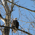 2011_12_11_Fraser_Valley_Eagle_Watching