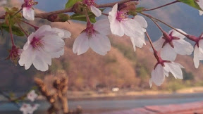 会場のシッコゴ公園は桜満開UP