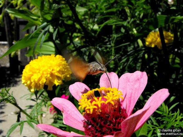 fluturas Sfinx Colibri (Molia Colibri, Macroglossum stellatarum)