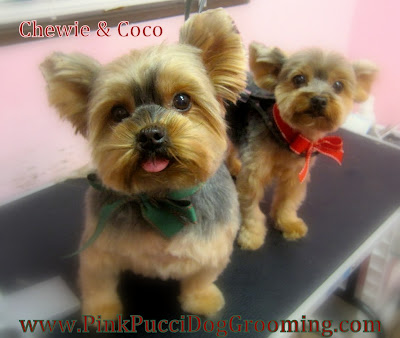 Chewie and Coco the Yorkshire Terrier Grooming Examples